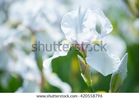 Beautiful flowers of white iris