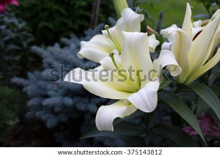 beautiful flowers of white lilies on a background of foliage