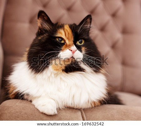 beautiful fluffy tri-color cat sitting on a chair