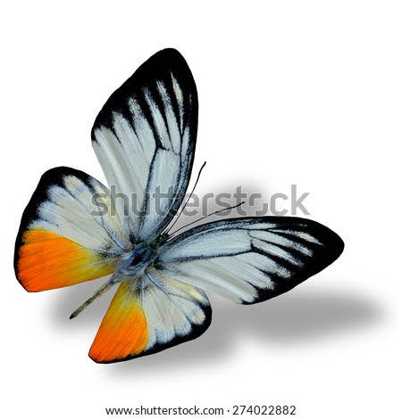 Beautiful flying butterfly, the orange gull butterfly on white background with nice soft shadow beneath - stock photo