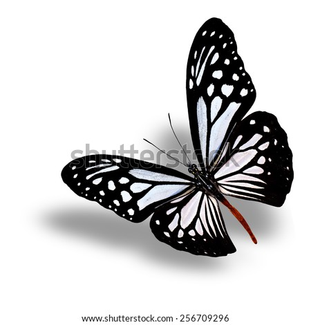 Beautiful flying Chocolate Tiger butterfly with soft shadow beneath on white background - stock photo