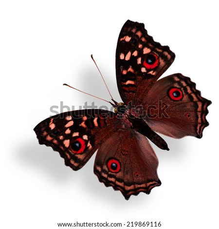 Beautiful Flying Fancy Red Butterfly (Grey Pansy) isolated on white with soft shadow beneath - stock photo