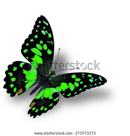 Beautiful flying green butterfly, the colorful Lime butterfly - stock photo