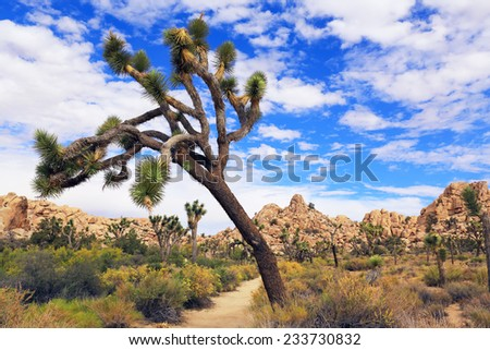 Beautiful foliage at Joshua Tree National Park features the eponymous Joshua trees in abundance. - stock photo