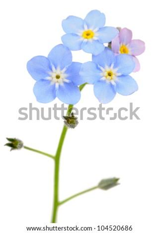 Beautiful Forget-me-not (Myosotis) Flowers on White Background - stock photo
