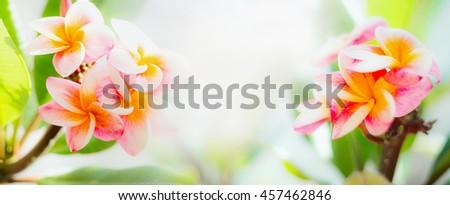 Beautiful frangipani flowers on sunny tropical nature background, banner - stock photo