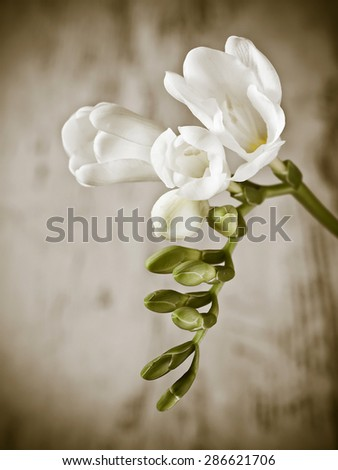 Beautiful freesia flower