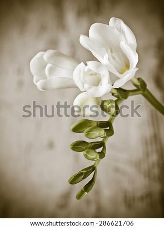 Beautiful freesia flower - stock photo