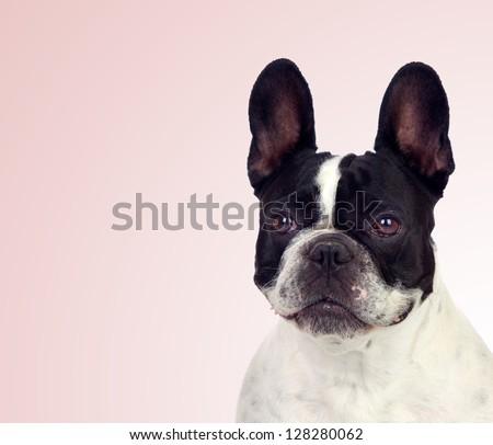 Beautiful french bulldog isolated on pink background - stock photo