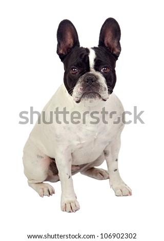 Beautiful french bulldog isolated on white background - stock photo