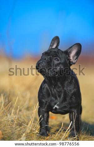 Beautiful french bulldog puppy - stock photo