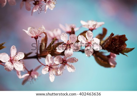 Beautiful fresh and young pink flowers of cherry in dew drops over blue sky. Macro. - stock photo