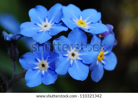 beautiful fresh blue forget-me-not flower close view - stock photo
