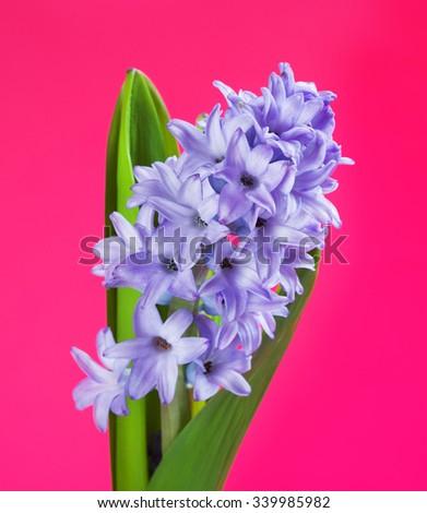beautiful fresh blue hyacinth on pink background - stock photo