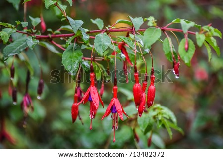 Beautiful fresh Fuchsia flower is blooming with rain drop after rain in the morning.
