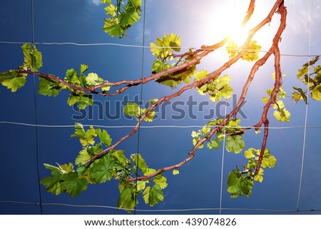 Beautiful fresh grape vine over clear blue sky background on bright sunny day, vineyard in the countryside, wine production