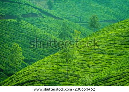 Beautiful fresh green tea plantation in Munnar, Kerala, India - stock photo