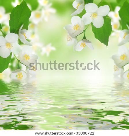 Beautiful Fresh Jasmine - stock photo