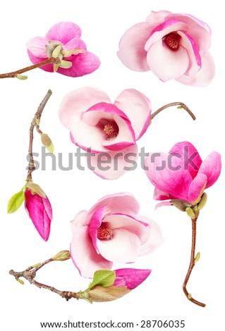 Beautiful fresh magnolia flowers isolated on white background - stock photo