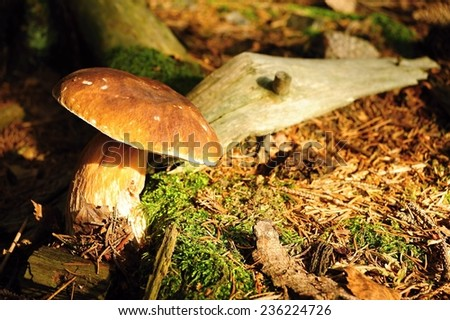 Beautiful fresh mushroom growing in the forest with sunlight