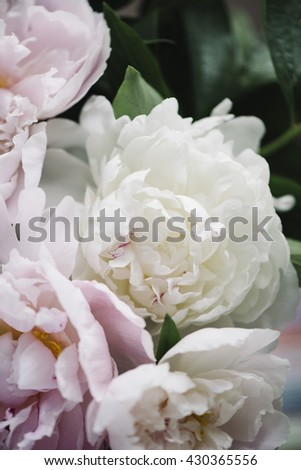 Beautiful fresh pink and white peonies