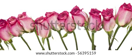 Beautiful Fresh Pink Rose Border Image with Copy Space on White.