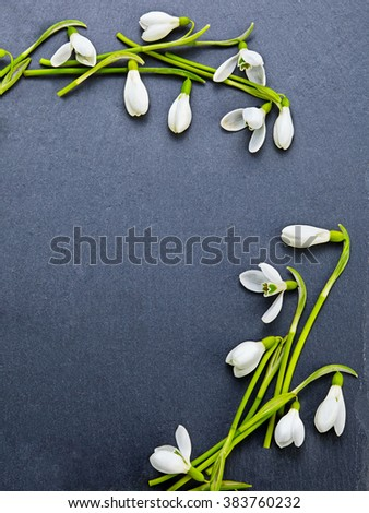 Beautiful fresh snowdrops on dark background - stock photo