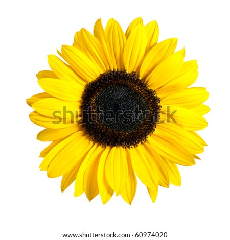 Beautiful Fresh Yellow Sunflower Flower. Closeup on Petals Isolated on White Background - stock photo