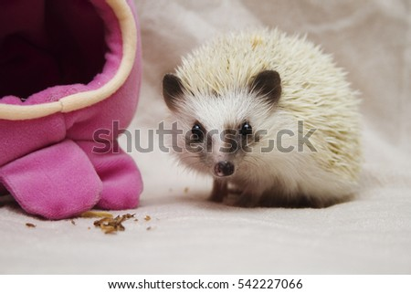 beautiful fun and cute hedgehog baby boy rarity color in christmas gold background