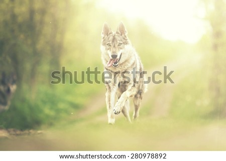beautiful fun Czechoslovakian wolfdog german shepherd dog puppy running in sunset background - stock photo