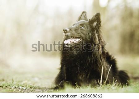 beautiful fun Groenendael dog puppy waiting - stock photo