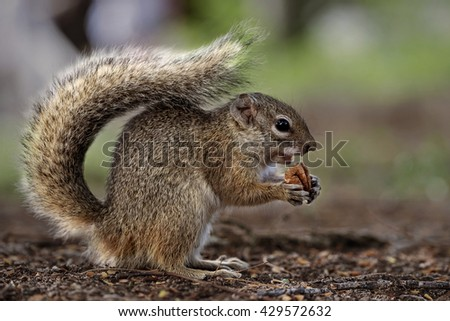 Beautiful furry squirrel eating nut. Green blury background. (Namibia, South Africa) - stock photo