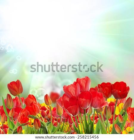 Beautiful garden fresh colorful tulips.Springtime. - stock photo