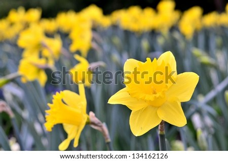Beautiful garden of yellow flowers - stock photo