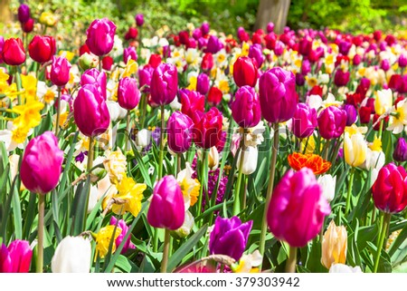beautiful garden with blooming vivid tulips - stock photo