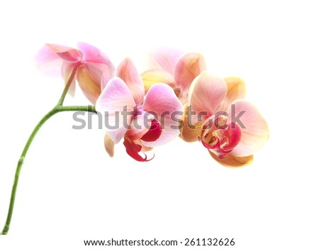 Beautiful gentle branch of pink romantic orchid flowers on white background - stock photo