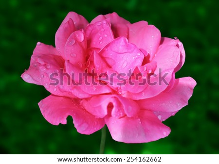 Beautiful gentle flower of rose, illuminated by the sun, in the garden closeup - stock photo