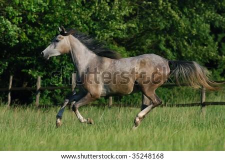 beautiful gentle grey arabian horse in motion - stock photo