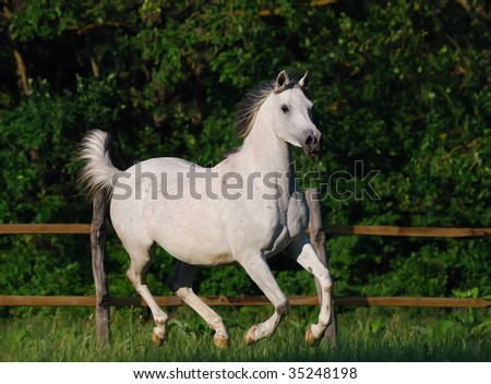 beautiful gentle white arabian horse in motion - stock photo