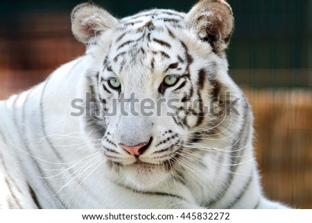 Beautiful gentle white tiger head portrait - stock photo