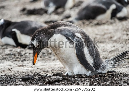 Beautiful gentoo penguin in Antarctica