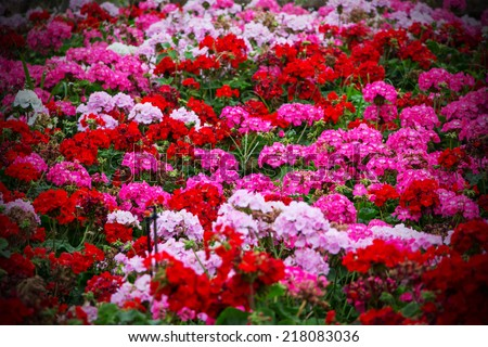 Beautiful geranium flowers background