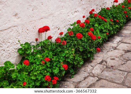 beautiful geranium on wall background - stock photo