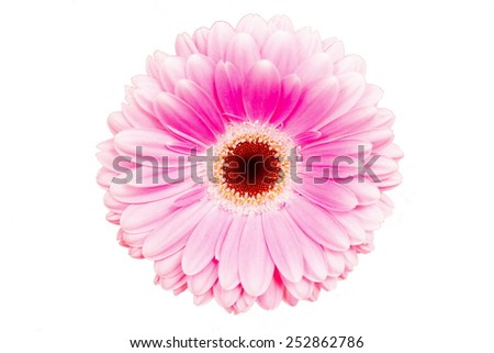 beautiful gerbera blossoms