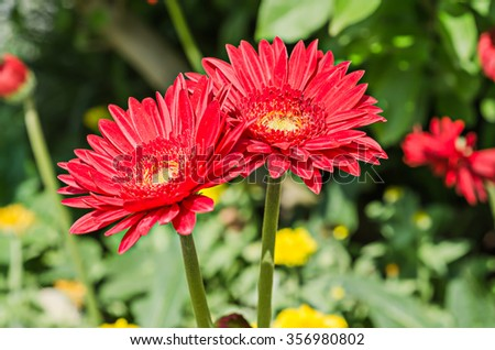 Beautiful gerbera flower in garden - stock photo