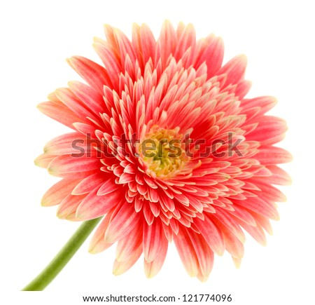 beautiful gerbera flower isolated on white - stock photo