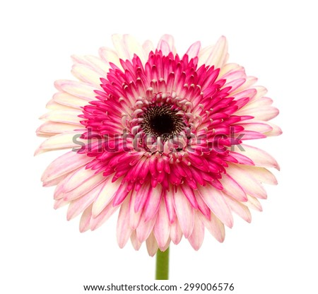 beautiful gerbera flower isolated on white background - stock photo