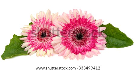 beautiful gerbera flowers isolated on white background - stock photo