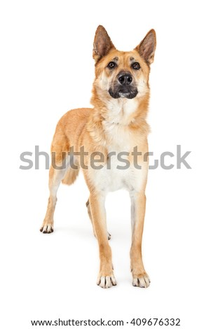 Beautiful German Shepherd dog standing over white looking up - stock photo