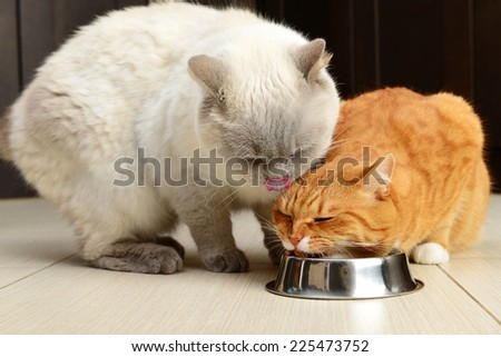 beautiful ginger and white cats with a bowl closeup,British Shorthair. - stock photo